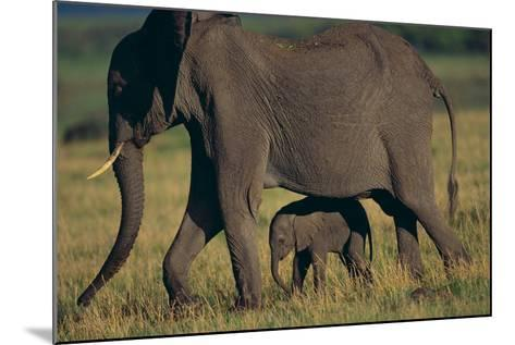African Elephant Calf Walking underneath Mother-DLILLC-Mounted Photographic Print