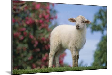 Lamb in Grass-DLILLC-Mounted Photographic Print