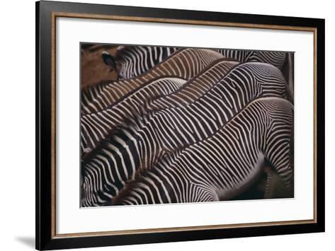 Zebra Backs-DLILLC-Framed Art Print