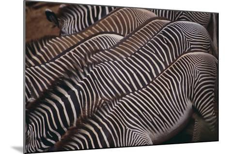 Zebra Backs-DLILLC-Mounted Photographic Print