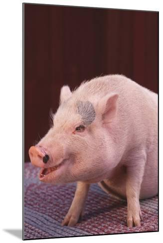 Pot-Bellied Pig-DLILLC-Mounted Photographic Print