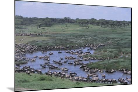 Zebras and Wildebeest at Water Hole-DLILLC-Mounted Photographic Print