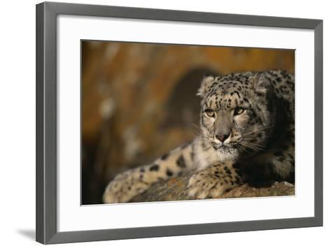 Snow Leopard on Rock-DLILLC-Framed Art Print