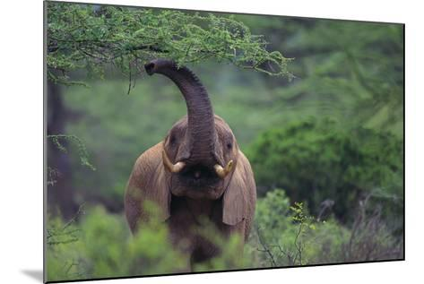 African Elephant Grazing on Tree-DLILLC-Mounted Photographic Print