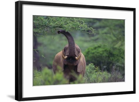African Elephant Grazing on Tree-DLILLC-Framed Art Print