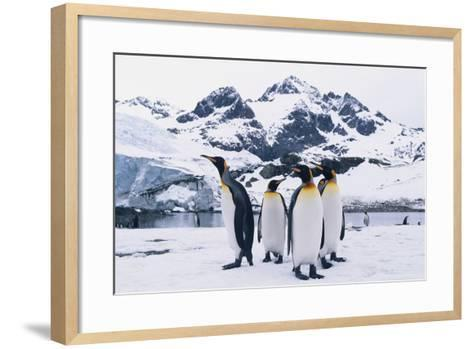 King Penguins-DLILLC-Framed Art Print