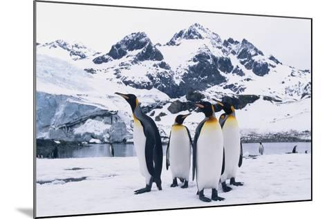 King Penguins-DLILLC-Mounted Photographic Print
