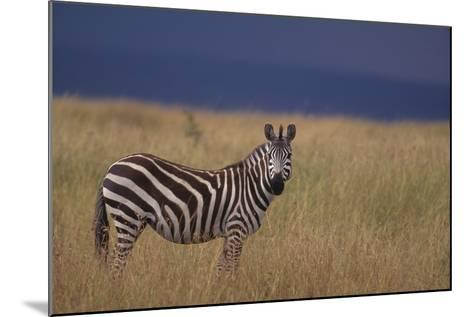 Common Zebra-DLILLC-Mounted Photographic Print
