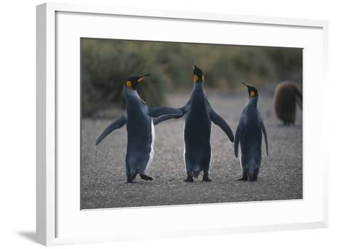 King Penguins Walking Together-DLILLC-Framed Art Print