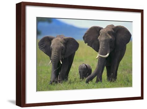 African Elephant Calf Walking between Adults-DLILLC-Framed Art Print