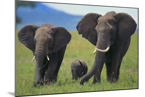 African Elephant Calf Walking between Adults-DLILLC-Mounted Photographic Print