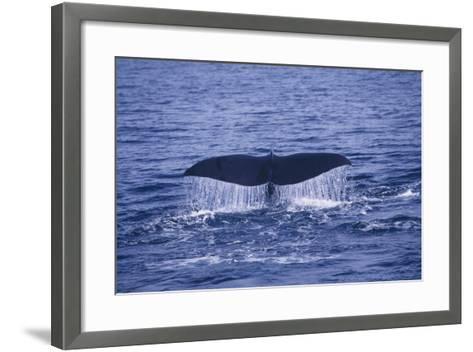 Sperm Whale Fluke-DLILLC-Framed Art Print