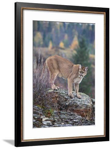 Mountain Lion-DLILLC-Framed Art Print