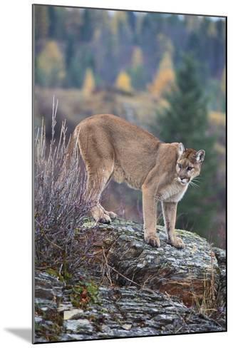 Mountain Lion-DLILLC-Mounted Photographic Print