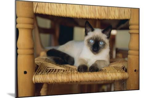 Siamese Cat Lounging on Dining Room Chair-DLILLC-Mounted Photographic Print