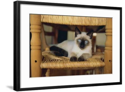 Siamese Cat Lounging on Dining Room Chair-DLILLC-Framed Art Print