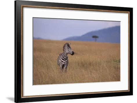 Lone Zebra-DLILLC-Framed Art Print