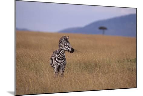 Lone Zebra-DLILLC-Mounted Photographic Print