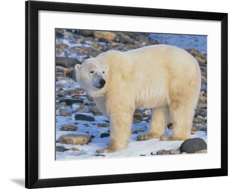 Polar Bear-DLILLC-Framed Art Print