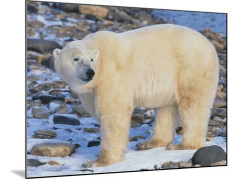 Polar Bear-DLILLC-Mounted Photographic Print