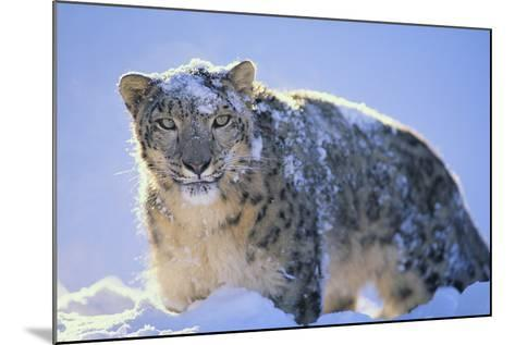 Snow Leopard Covered in Snow-DLILLC-Mounted Photographic Print
