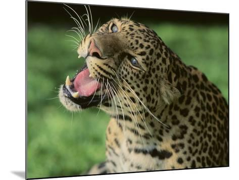 Growling Leopard-DLILLC-Mounted Photographic Print