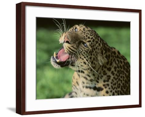 Growling Leopard-DLILLC-Framed Art Print