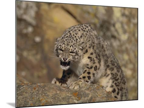 Growling Snow Leopard-DLILLC-Mounted Photographic Print