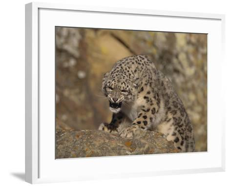 Growling Snow Leopard-DLILLC-Framed Art Print