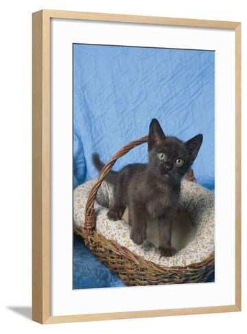 Burmese Kitten in a Basket-DLILLC-Framed Art Print