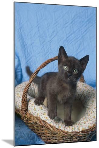 Burmese Kitten in a Basket-DLILLC-Mounted Photographic Print