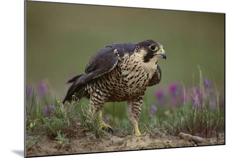 Peregrine Falcon in Grass-DLILLC-Mounted Photographic Print