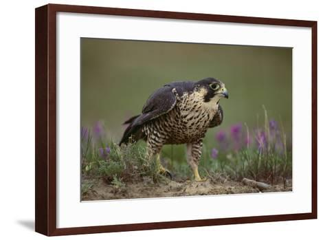 Peregrine Falcon in Grass-DLILLC-Framed Art Print