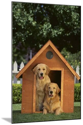 Two Golden Retrievers-DLILLC-Mounted Photographic Print