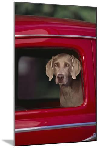 Weimaraner Sitting in an Automobile-DLILLC-Mounted Photographic Print