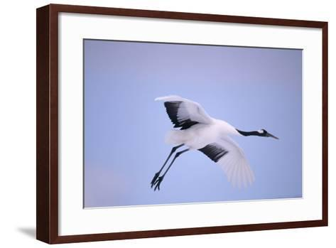 Red-Crowned Crane in Flight-DLILLC-Framed Art Print