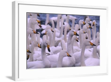 Whooper Swans-DLILLC-Framed Art Print