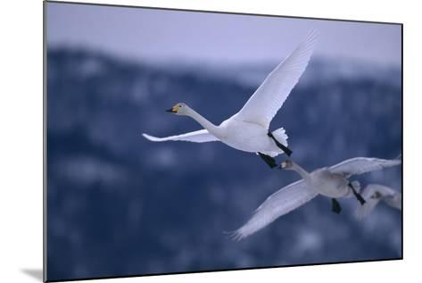 Whooper Swans Flying-DLILLC-Mounted Photographic Print