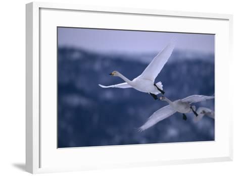 Whooper Swans Flying-DLILLC-Framed Art Print