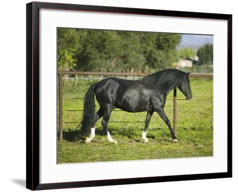 Peruvian Paso Stallion Walking by Fence-DLILLC-Framed Art Print