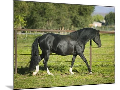 Peruvian Paso Stallion Walking by Fence-DLILLC-Mounted Photographic Print