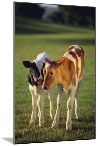 Holstein-Jersey Mix Calf and Holstein Calf-DLILLC-Mounted Photographic Print