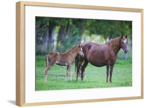 Peruvian Paso Colt with Quarter Horse Mare-DLILLC-Framed Art Print