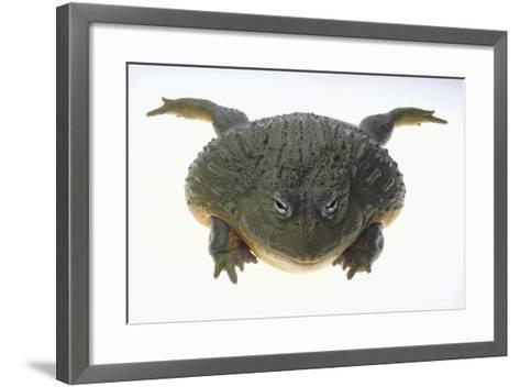 African Bullfrog-DLILLC-Framed Art Print