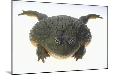 African Bullfrog-DLILLC-Mounted Photographic Print