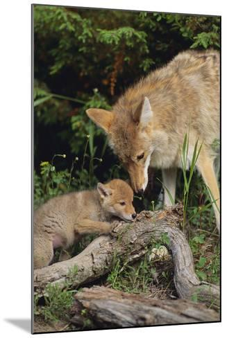 Coyote and Her Pup-DLILLC-Mounted Photographic Print