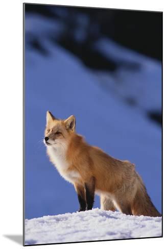 Red Fox-DLILLC-Mounted Photographic Print