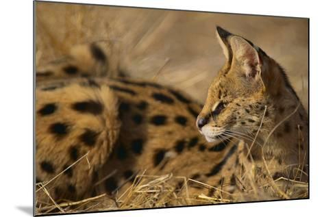 African Serval-DLILLC-Mounted Photographic Print