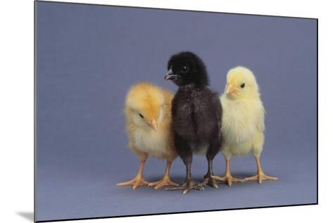 Rhode Island Red, Black Sex-Link and Leghorn Chicks in a Row-DLILLC-Mounted Photographic Print