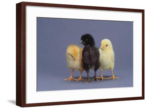 Rhode Island Red, Black Sex-Link and Leghorn Chicks in a Row-DLILLC-Framed Art Print